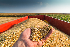 Picture of someone holding some soybeans in front of a field of soybeans